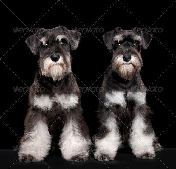 Miniature schnauzer puppies - Stock Photo - Images