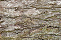 Bark of Pine Tree - PhotoDune Item for Sale