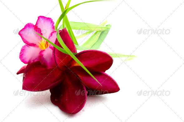 Frangipani - Stock Photo - Images