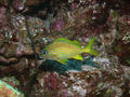 French Grunt Fish Underwater Scuba Diving Grand Cayman - PhotoDune Item for Sale