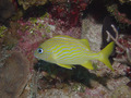 French Grunt Fish Underwater Scuba Diving Grand Cayman 2 - PhotoDune Item for Sale