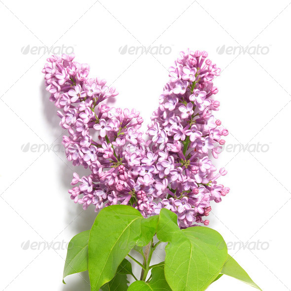 Violet lilac branch - Stock Photo - Images