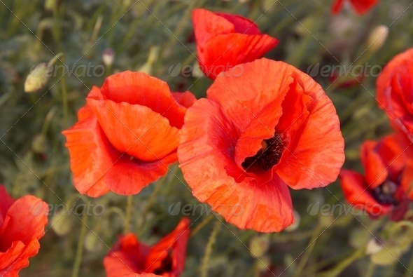 Field of poppies - Stock Photo - Images