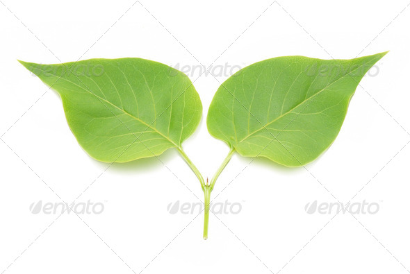 Two green lilac leaves. - Stock Photo - Images