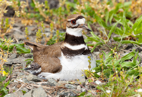 Killdeer bird sitting on nest with young - Stock Photo - Images