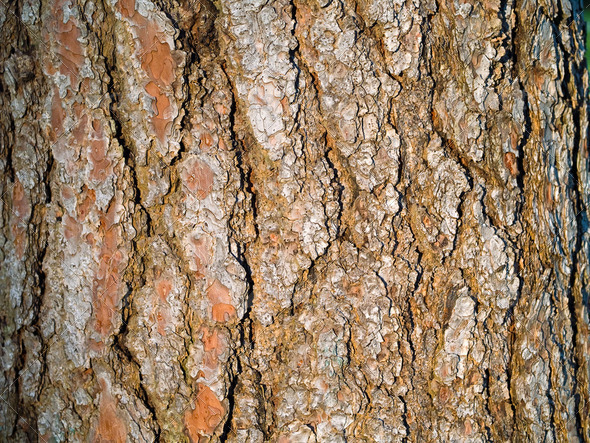 Evergreen Tree Bark Background - Stock Photo - Images