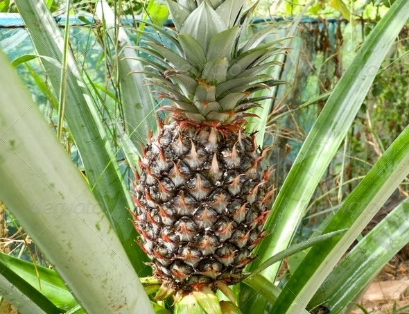 Pineapple on the tree - Stock Photo - Images