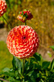 Ball Dahlia - PhotoDune Item for Sale