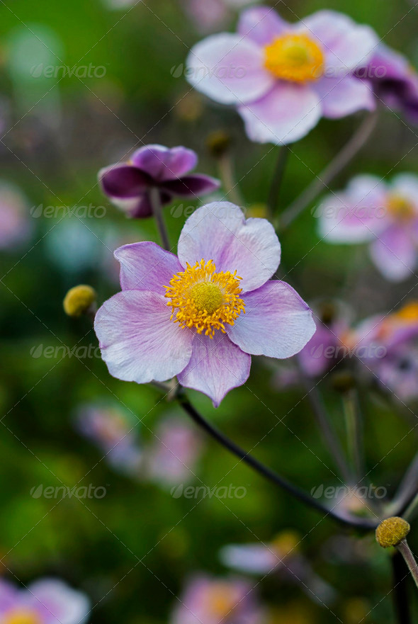 Anemone - Stock Photo - Images