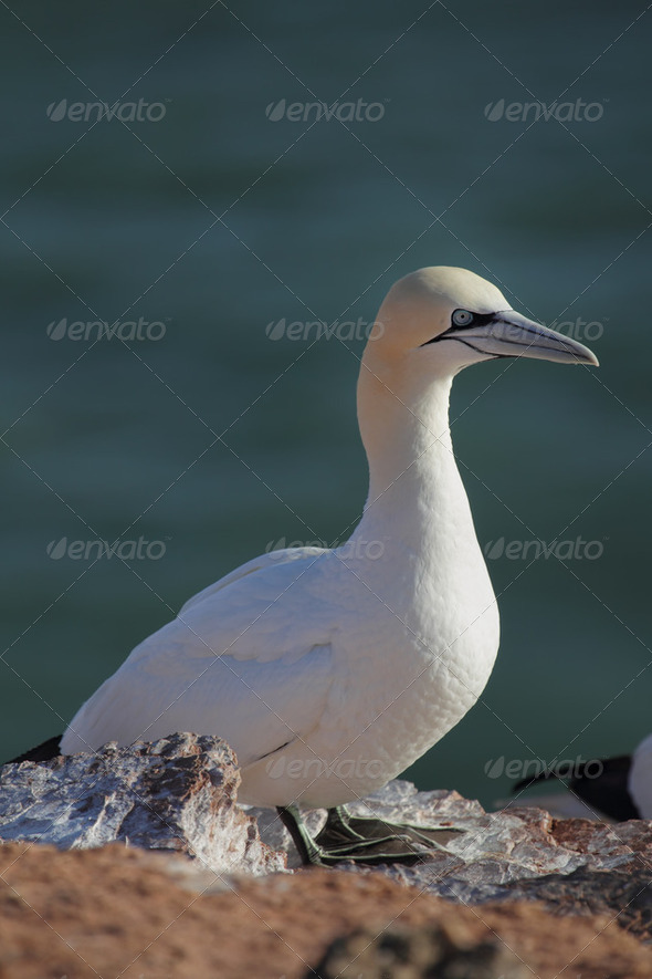 Northern Gannet (Morus bassanus) - Stock Photo - Images