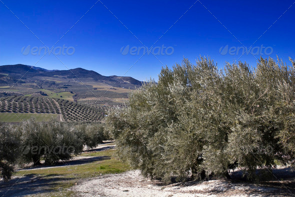 Olive grove - Stock Photo - Images