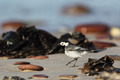 White Wagtail (Motacilla alba) - PhotoDune Item for Sale
