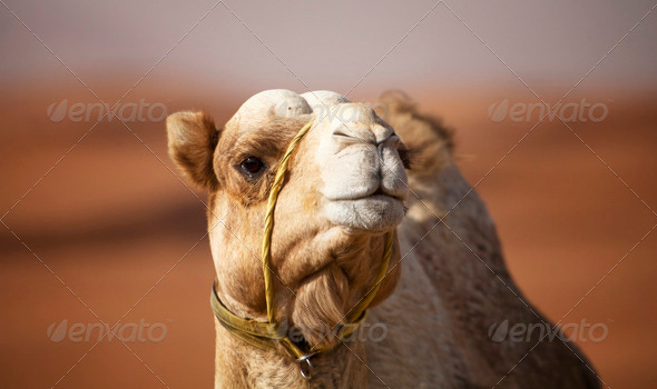 Camel in the desert - Stock Photo - Images