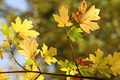 Autumnal Foliage Impression - PhotoDune Item for Sale