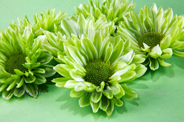 Chrysantemum flowers - Stock Photo - Images