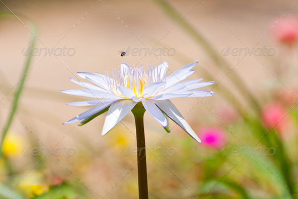 blue lotus flower in pond - Stock Photo - Images