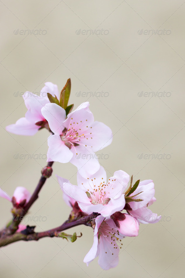 Blooming tree in spring with pink flowers - Stock Photo - Images
