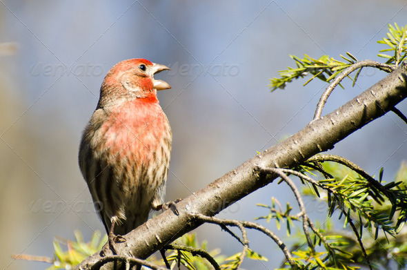 Male House Finch Perched on a Branch - Stock Photo - Images