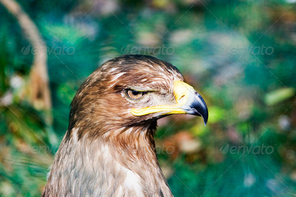Eagle - Stock Photo - Images