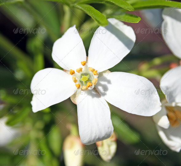 clematis flowers - Stock Photo - Images