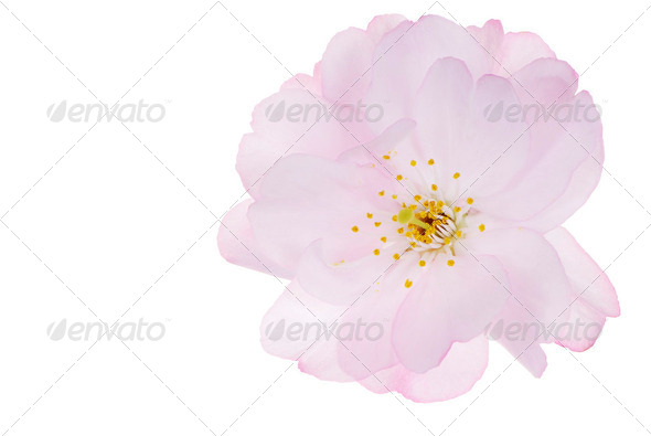 Isolated Cherry Blossom - Stock Photo - Images