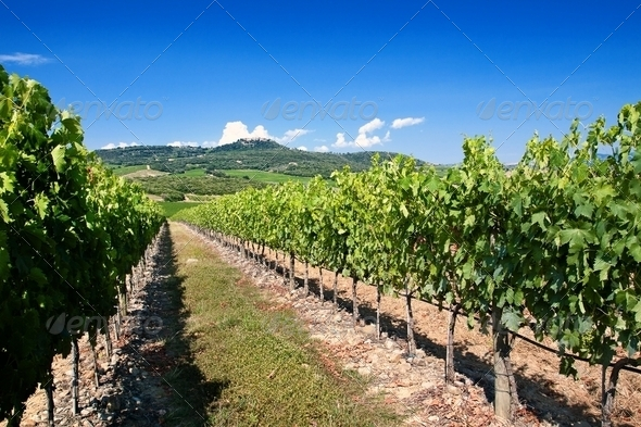 Tuscany vineyard - Stock Photo - Images