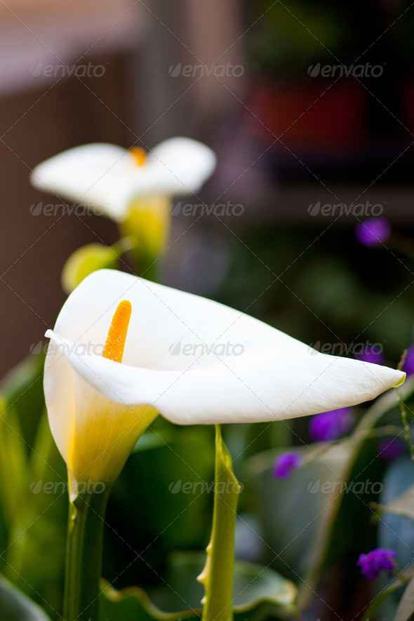 White calla - Stock Photo - Images