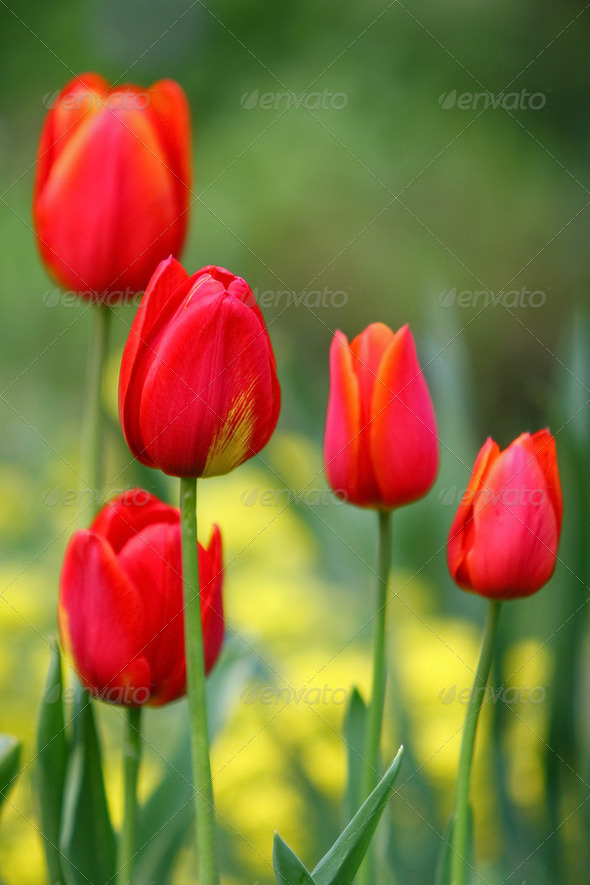 Red tulip vertical - Stock Photo - Images