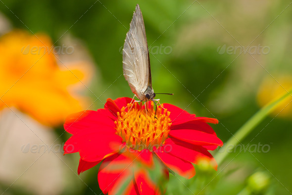 White Morpho butterfly on red Zinnia flower - Stock Photo - Images