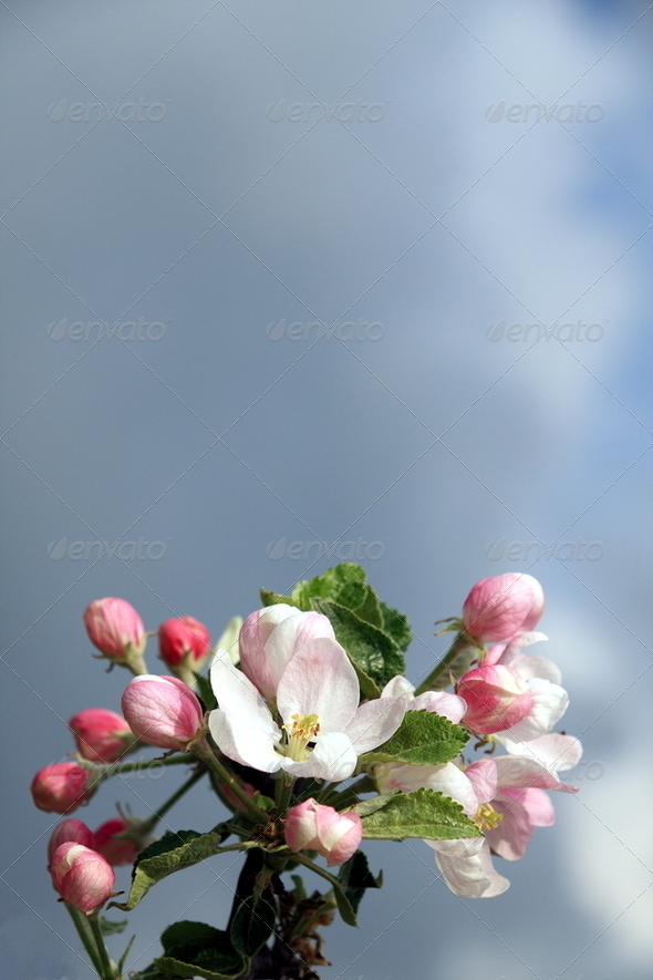 Blossoming apple against dark sky - Stock Photo - Images