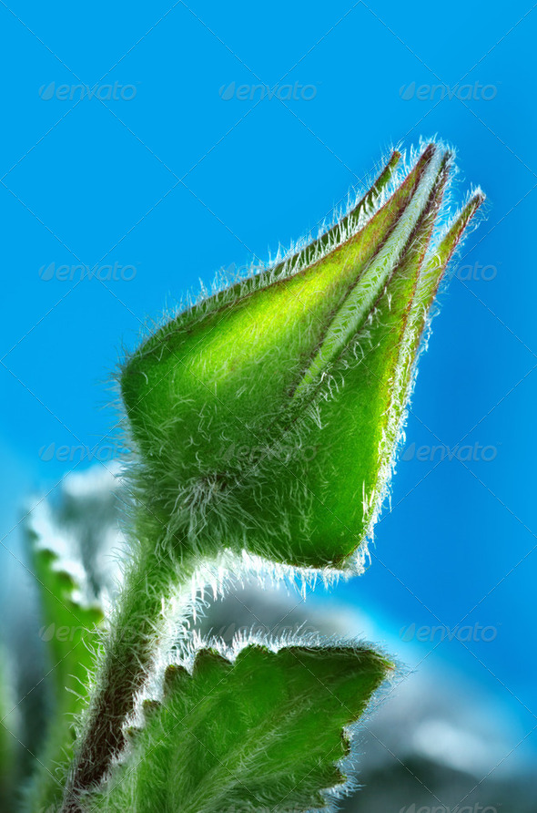 Bud - Stock Photo - Images