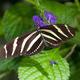 Zebra Longwing Butterfly - PhotoDune Item for Sale