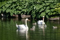 Swan Family - PhotoDune Item for Sale
