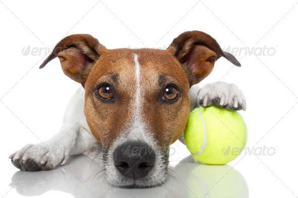 dog with tennis ball - Stock Photo - Images