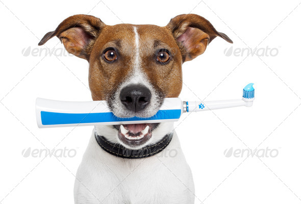 dog with electric toothbrush - Stock Photo - Images