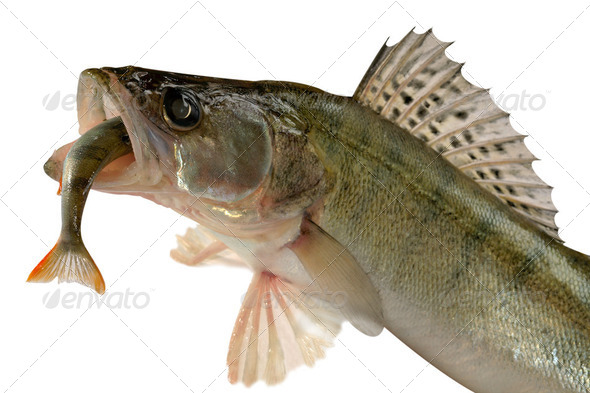 Large pike perch isolated on a white background. - Stock Photo - Images