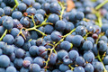 Grape selective focus for backgrounds - PhotoDune Item for Sale