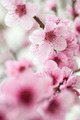 Blooming tree in spring with pink flowers - PhotoDune Item for Sale