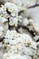 Blooming tree in spring with white flowers - PhotoDune Item for Sale
