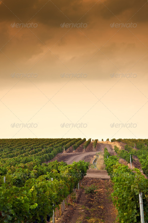 Beautiful rows of grapes before harvesting - Stock Photo - Images