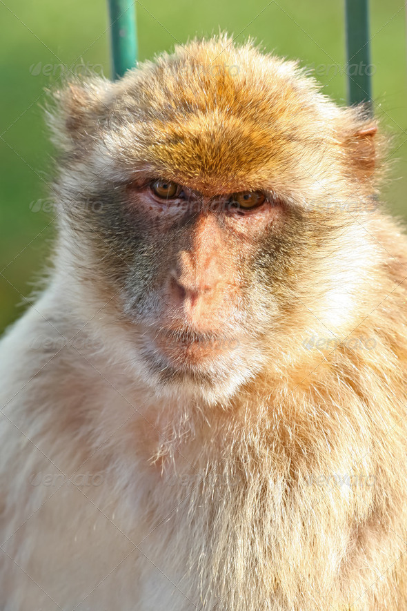 Monkey Barbary macaques - Stock Photo - Images