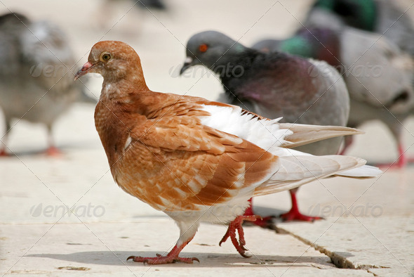 Brown pigeo - Stock Photo - Images