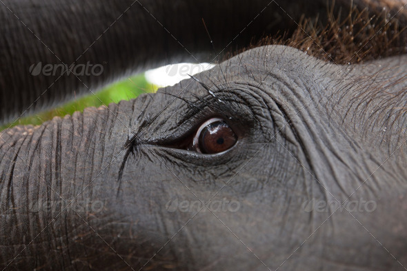 Asian elephant eyes are looking  up - Stock Photo - Images