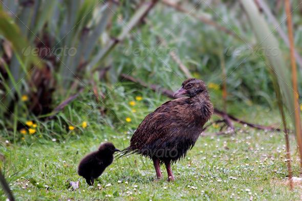 Weka (Gallirallus australis) - Stock Photo - Images
