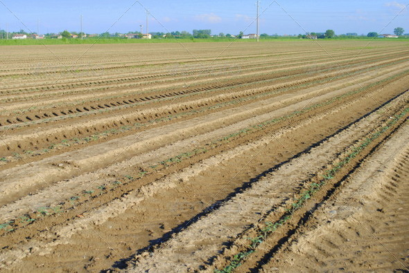 rows of green seedling in a tomatoes field - Stock Photo - Images