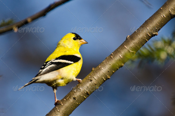 Male American Goldfinch Perched in a Tree - Stock Photo - Images