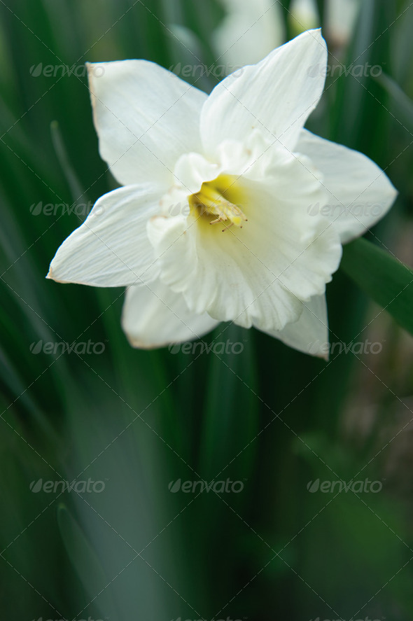 White narcissus - Stock Photo - Images