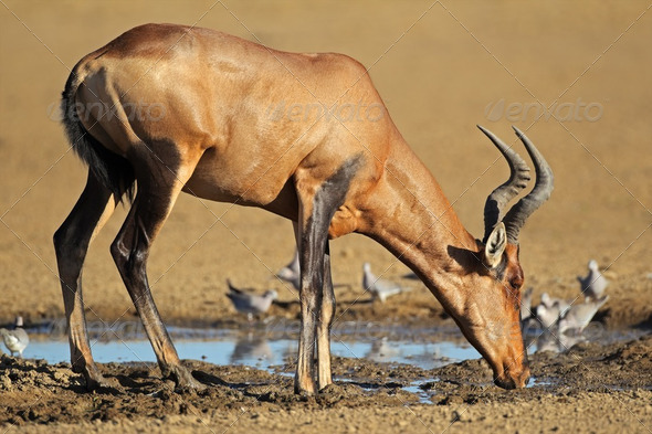 Red hartebeest drinking - Stock Photo - Images