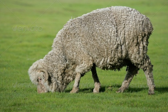 Grazing sheep - Stock Photo - Images