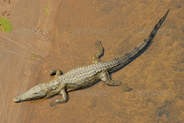 Nile crocodile - Stock Photo - Images